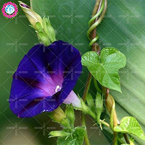 11.11 Big Promotion!50 pcs/lot rare colorful Morning glory seeds Chinese tree bonsai seed garden&home organic herb plant 2 - Glory Type