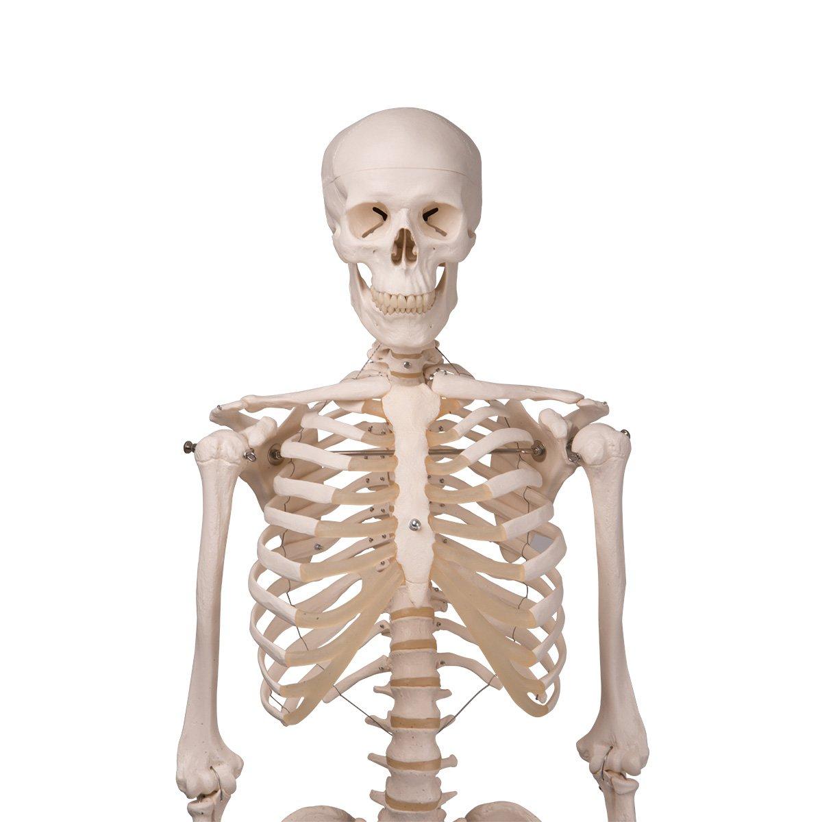 3b Scientific A101 Plastic Human Skeleton Model Stan On Hanging
