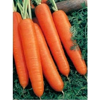 Sow No GMO Carrot Scarlet Nantes Non GMO Heirloom Sweet Crunchy Vegetable 100 Seeds : Garden & Outdoor