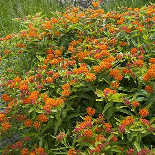 Van Zyverden 83742 Asclepias Tuberosa Support The Monarchs Set of 5 Roots Flowering-Plants #1 Orange