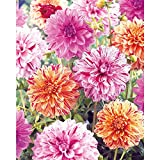 Painter's Palette Decorative Dahlias 2 Bulbs