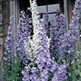 50+ CHIMNEY BELLFLOWER MIX FLOWER SEEDS / PYRAMIDALIS / PERENNIAL / CAMPANULA