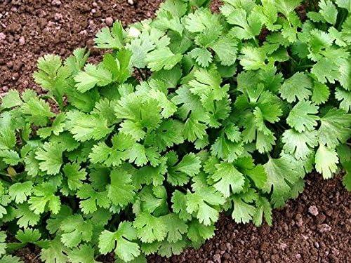 Semillas de cilantro - Coriandrum sativum: Amazon.es: Jardín