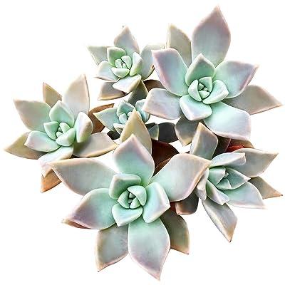 Variegated Ghost Succulent (2 inch) : Garden & Outdoor