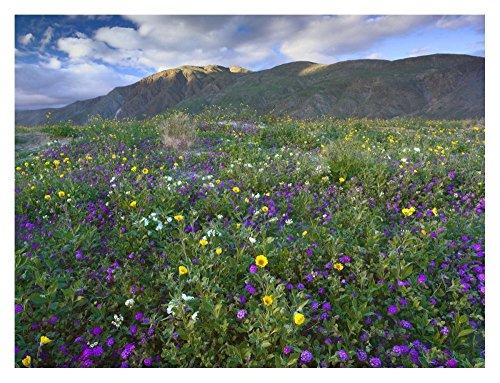 Global Gallery Art on a Budget DP-397055-2432 Tim Fitzharris Wildflowers Carpeting The Ground Beneath Coyote Peak Anza-Borrego Desert Giclee on Paper Print (Anza Borrego Wildflowers Best Time)