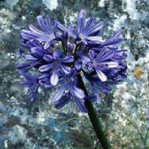 Agapanthus africanus 10 semi freschi BLU Amore Fiore