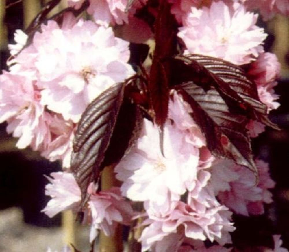 1x 3 4ft Mini Dwarf Prunus Royal Burgundy Tree Flowering Japanese
