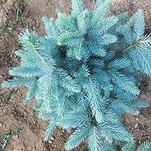 [Free Shipping] 30PCS Colorado Blue Spruce Tree Seeds Picea pungens Fir Plant // 30pcs colorado semillas de árboles de abeto azul planta de abeto Picea ...