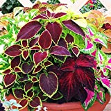 Wintefei 50 Pcs Mix Colors Coleus Blumei Seeds Bonsai Potted Leaves Plant Garden Decor