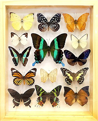 REAL 14 MIX BEAUTIFUL BUTTERFLY IN FRAME WOOD PREMIUM DISPLAY INSECT TAXIDERMY