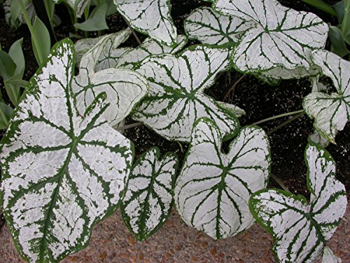 (CALADIUM, BULB, WHITE CHRISTMAS, PACK OF 3 (THREE), EASY TO GROW, COLORFUL MIX, HOSTA BULBS)