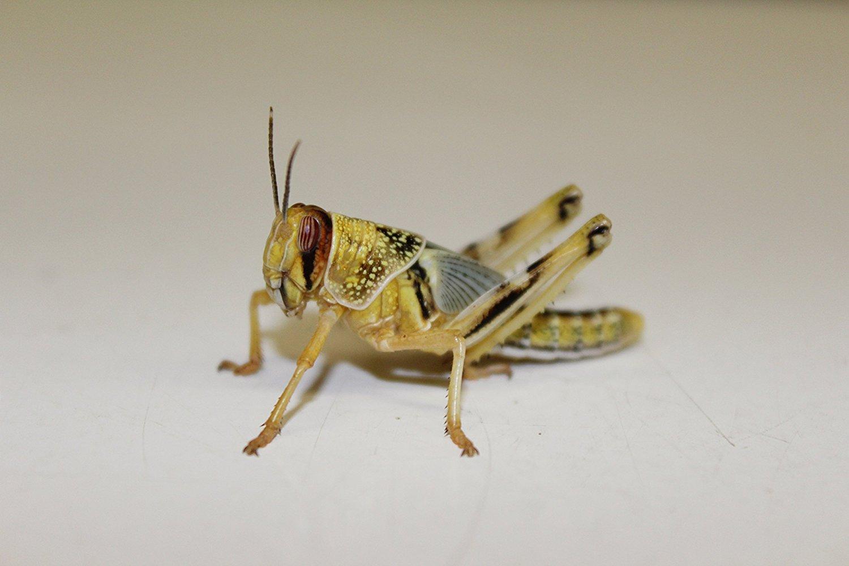 Flos-Oase Heuschrecken Wüstenheuschrecken subadult 100 Stück Futterinsekten Reptilienfutter Futtertiere