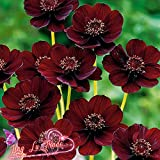 Best Selling!!! 50 Seeds Chocolate Cosmos - Blooms All Summer Long And Has Rich Scent Like Chocolate, Diy Home Garden Flower