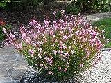 Gaura (Dwarf, Pink) Aka Gaura Lind. 'Dwarf Pink' Live Plant Fit 1 Gallon Pot
