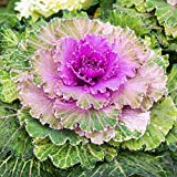 Outsidepride Ornamental Kale - 1000 Seeds