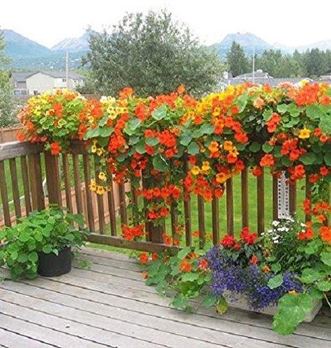 SVI Hanging Baskets Plants Seeds nasturium Flower Seed for Home Climber Flowers- Beginner's Pack Garden [Home Garden Seeds eco ()