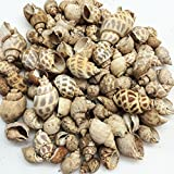 PEPPERLONELY Mixed Babylonia Sea Shells, 2 Pound Approx. 100+PC Shells, 3/4 Inch ~ 3 Inch