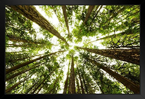(Through The Trees Olympic National Park Photo Art Print Framed Poster 20x14 inch )