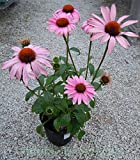 Purple Coneflower (Echinacea purpurea 'Magnus'), 1 Gal
