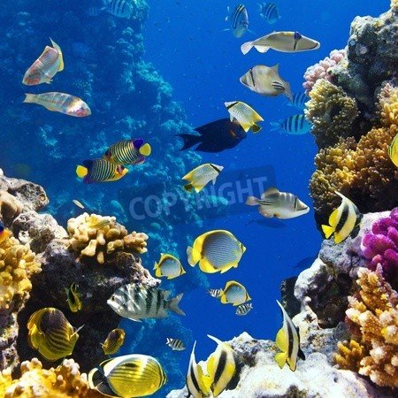 Canvas 40 x 40 cm Canvas 40 x 40 cm Photo of a tropical Fish on a coral reef(12569096), Canvas, 40 x 40 cm