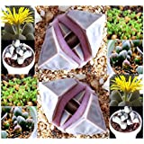 20 Karoo Rose Lapidaria Margaretae - Rare mesembs living rock stome CACTUS cacti Succulent SEEDs - By MySeeds.Co
