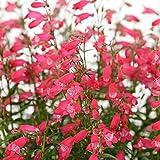 "Carillo Red Penstemon - Beardtongue - Hardy - 4"" Pot"