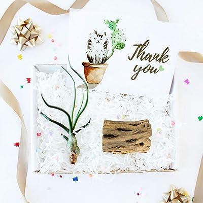 Gift Box - 1 Airplant : Garden & Outdoor