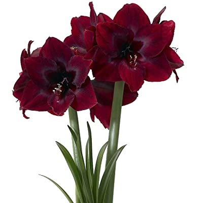 Black Pearl Giant Dutch Amaryllis - New Color - 26/28cm Large Bulb : Garden & Outdoor