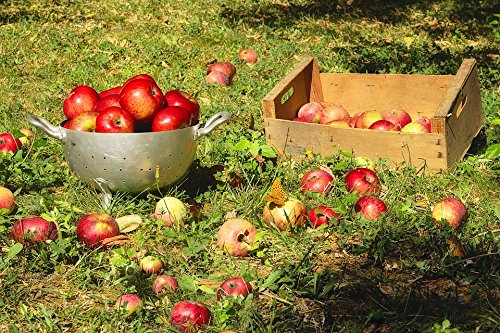 Crunchy Collection (Home Comforts LAMINATED POSTER Crunchy Apples Fall Fruit Collection Sweet Red Poster 24x16 Adhesive Decal)