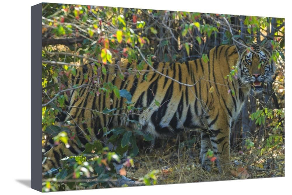 ArtEdge Tiger in India Stretched Canvas Print