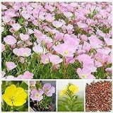 Evening Primrose Flower Bonsai Seeds European Primrose Seeds Plant Primula Malacoides 100 Seeds mix #32837156178ST