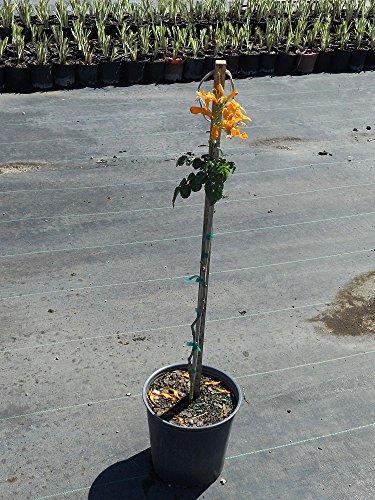 Tecomaria capensis 'Orange Glow', Cape Honeysuckle - 3 Gallon Live Plant - 4 pack by PlantVine