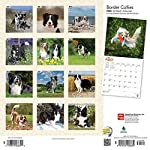 Border Collies 2020 12 x 12 Inch Monthly Square Wall Calendar with Foil Stamped Cover, Animals Dog Breeds Collies (English, Spanish and French Edition) 4