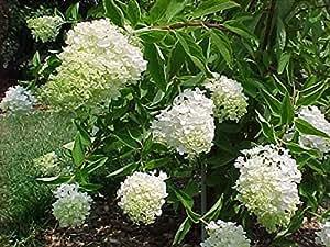 Panicle Hydrangea, (Tree Hydrangea), Hydrangea paniculata, 50 Seeds