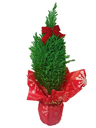 burpee live cypress christmas tree for holiday decor 5 pot with deco wrap and - Cypress Christmas Tree