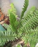100 Christmas Fern Spores Perennial Shade Plant