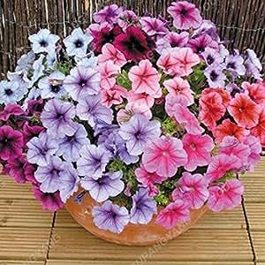 100 piezas colgantes Semillas Semillas Petunia balcón en maceta de flores Petunia que se arrastra semillas de la petunia raras Bonsai Flor de la correhuela azul Semillas