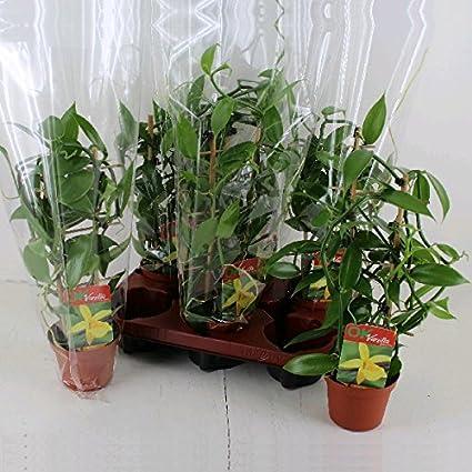 Planta de vainilla real - Vanilla planifolia - orquídea trepadora ...