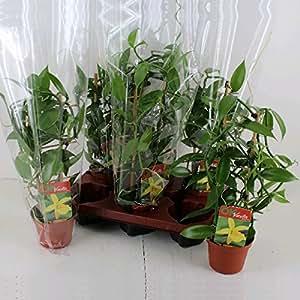 Planta de vainilla real - Vanilla planifolia - orquídea trepadora