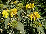 4 Bare Root of Phlomis Fruticosa