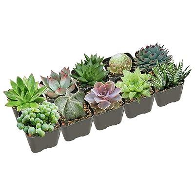 Succulents Pack for Beginners | Set of 4 Best Succulent Plants : Garden & Outdoor