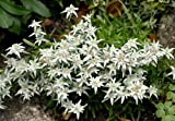 Edelweiss 100 Seeds-Leontopodium alpinum-Sound of Music