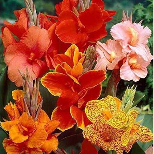 5 Exotic Tropical Canna Mix Collection - Dwarf/Medium Cannas - Bulbs/Roots/Rhizomes/ Tubers/Plants