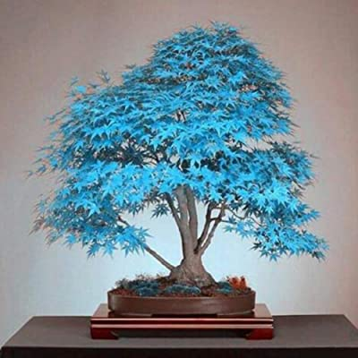 junshi11 30Pcs Japanese Maple Tree Seeds Acer Palmatum Home Bonsai Easily Grow, Annual Temperate Planting, Indoor Outdoor Decoration Garden Gifts Light Blue Maple Tree Seeds : Garden & Outdoor