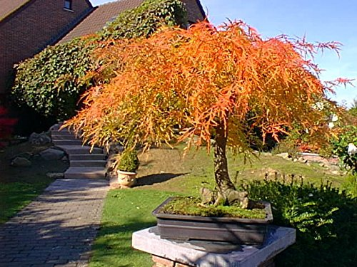 (New Red Lace Leaf Japanese Maple , Acer palmatum atropurpureum dissectum , Tree Seeds)