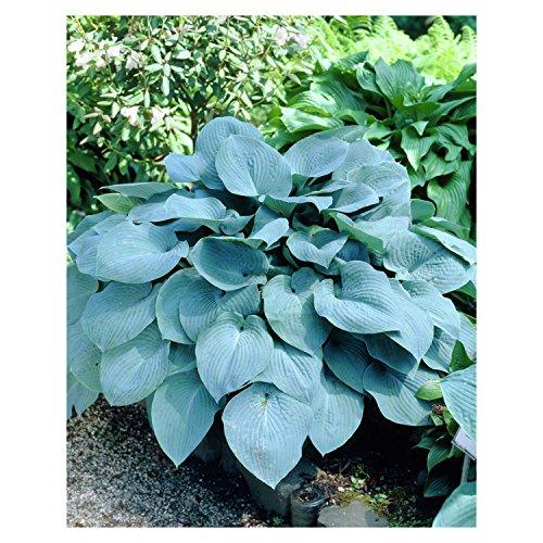 Hosta 'Blue Giant' - Quart Pot - Heavy - Healthy - Perennial - Ea 1 by Growers (Hosta Leaf)
