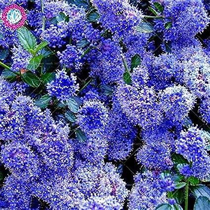 Amazon Com 100pcs Bonsai Blue Japanese Lilac Extremely Fragrant
