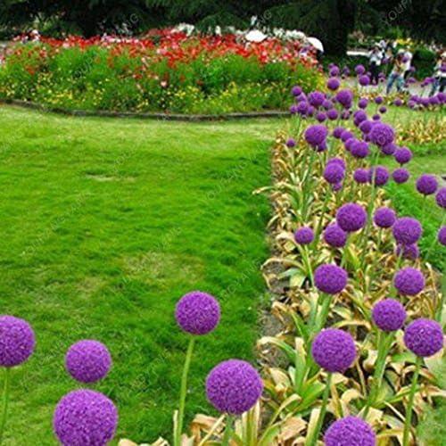 100 púrpura gigante Allium giganteum Semillas hermoso jardín de flores de la planta de la tasa de 95% en ciernes de flores raras para el cabrito Inicio de plantas de jardín Claro: