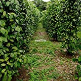 Portal Cool 20Pcs Piper Nigrum Seeds Black Pepper Spice Plant Seeds Garden Outdoor Rr6