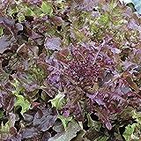 PlenTree 1000 Seeds of Salad Bowl Red - Leaf Lettuce Good Keeper